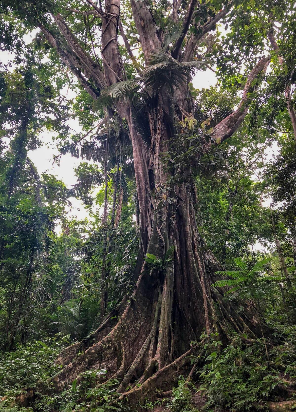 Peru Regenwald Baumriese