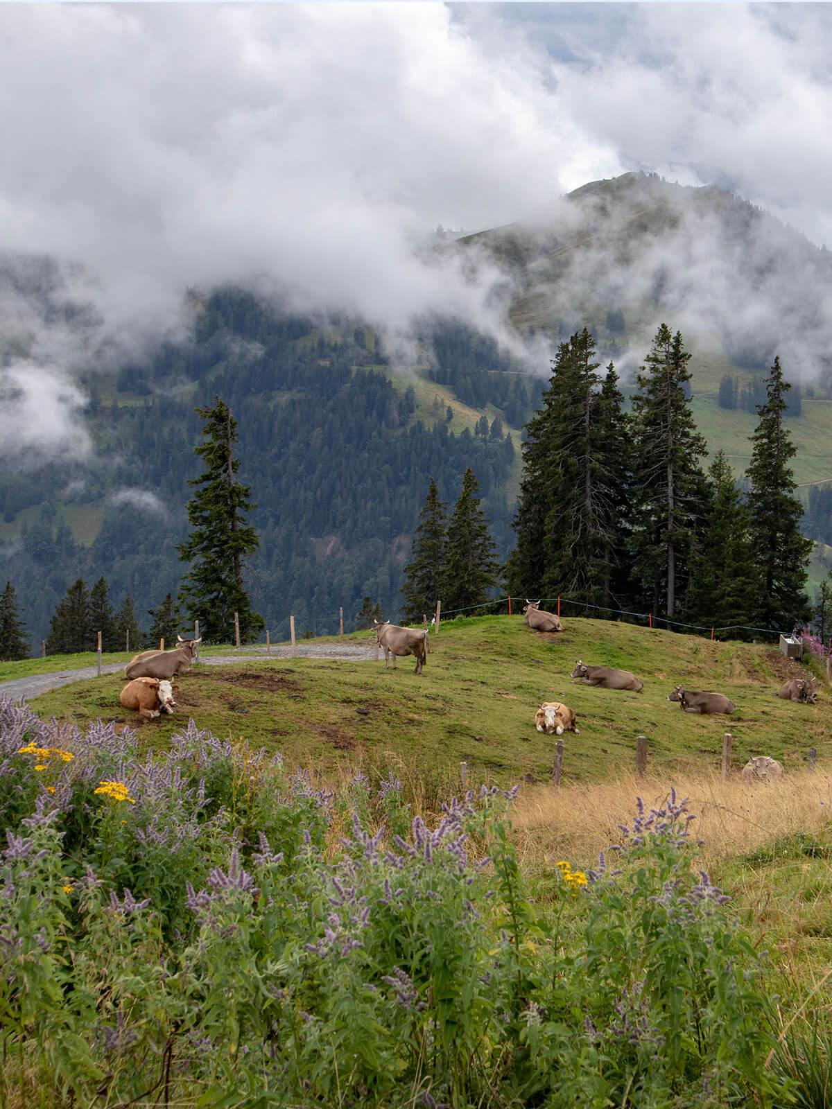 Rigi Weide mit Kühen