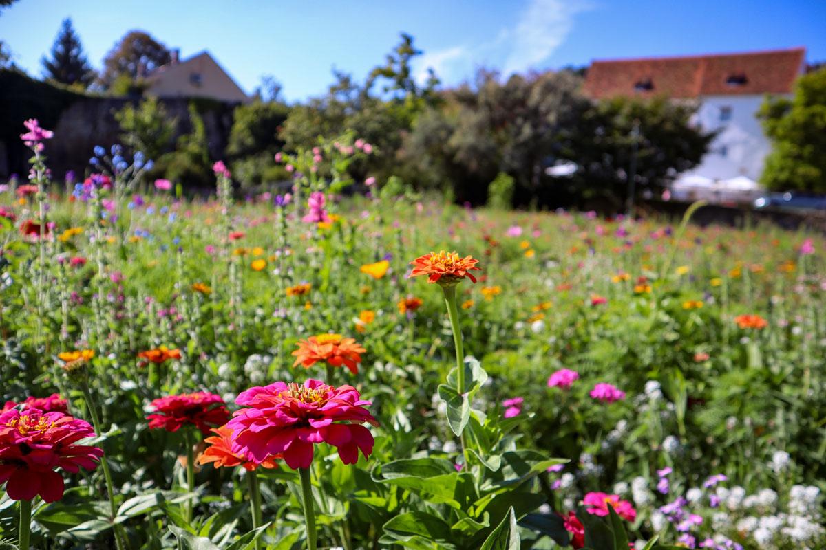 Hartberger Blumenwiese mit Schloss im Hintergrund